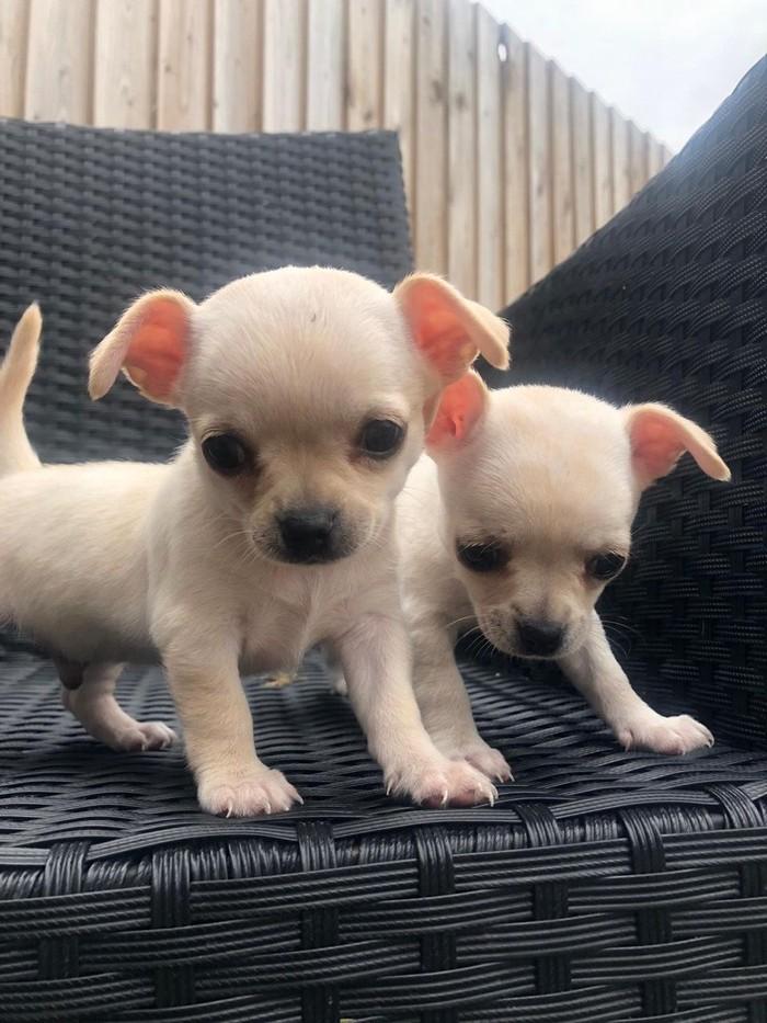 Chihuahua σκυλιά και κουτάβια προς πώληση