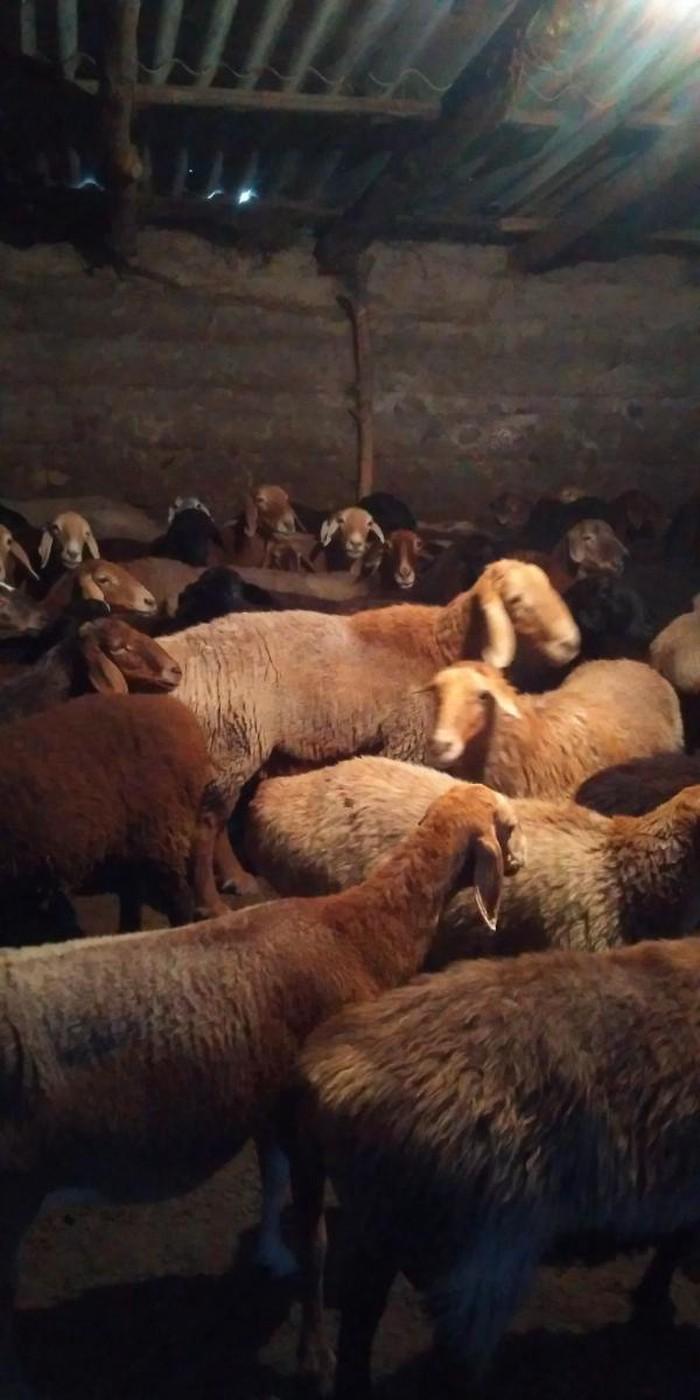 Продаю овец маток (покрытых)оптом. Photo 0