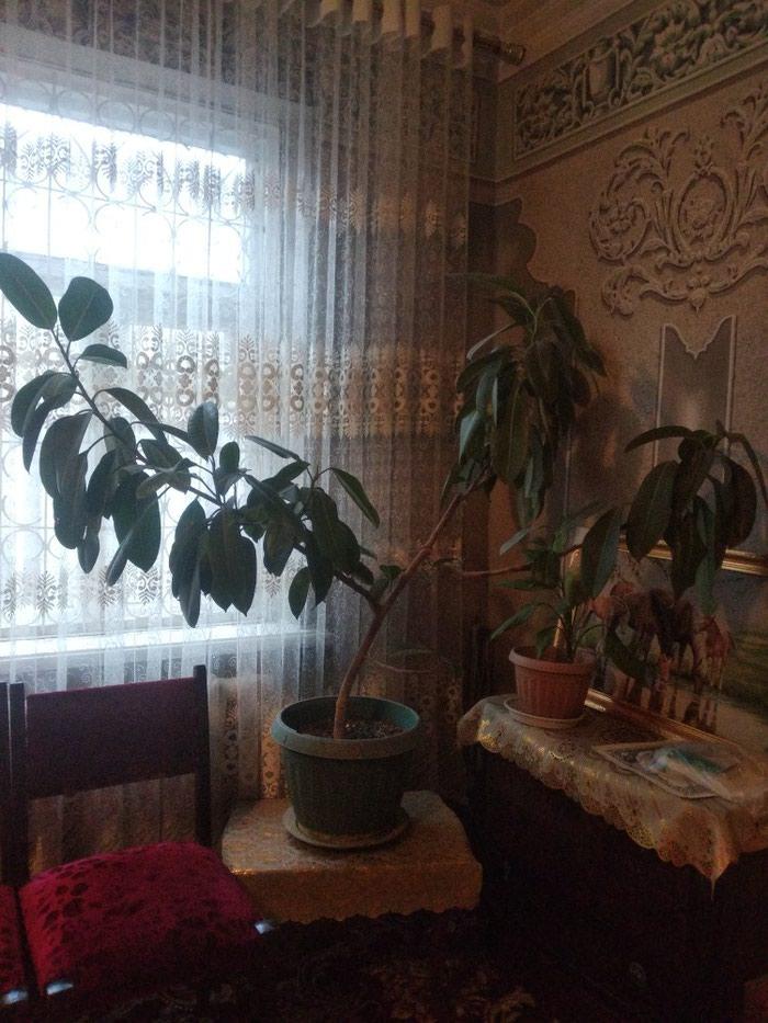 Фикус цена 800с в Душанбе