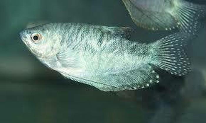 Аквариумние рибки цени договорние. Photo 0