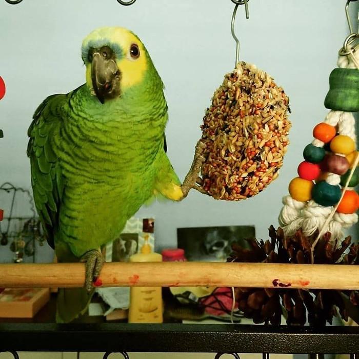 Where to buy  amazon parrot