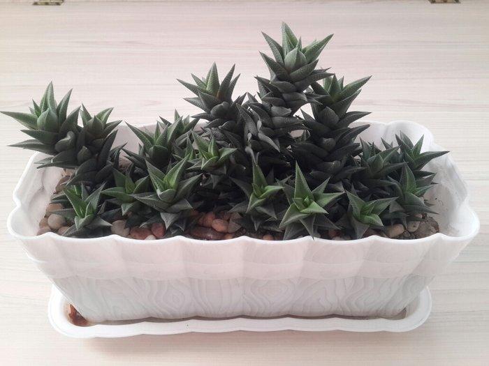 кактусы в длинном горшке. очень много ( можно рассадить). не прихотлив в Бишкек