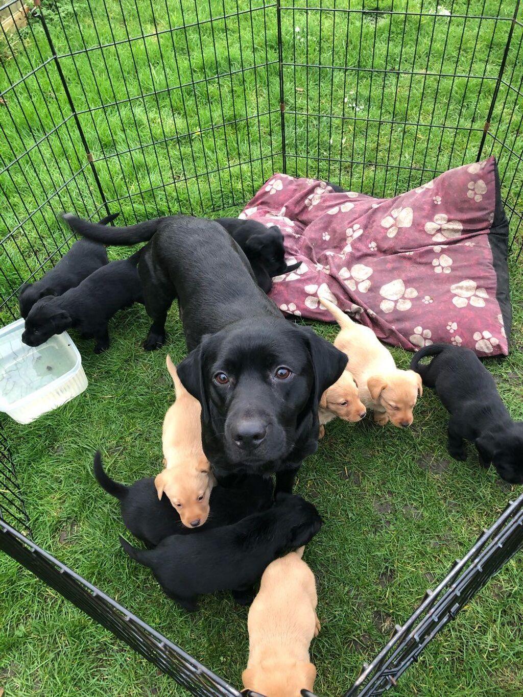 Labrador Retriver κουτάβια για εσάς