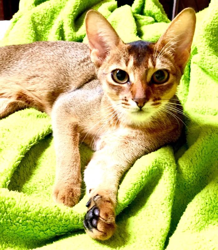 Абиссинкая кошка для случки ищет Абиссинского кота в Баку