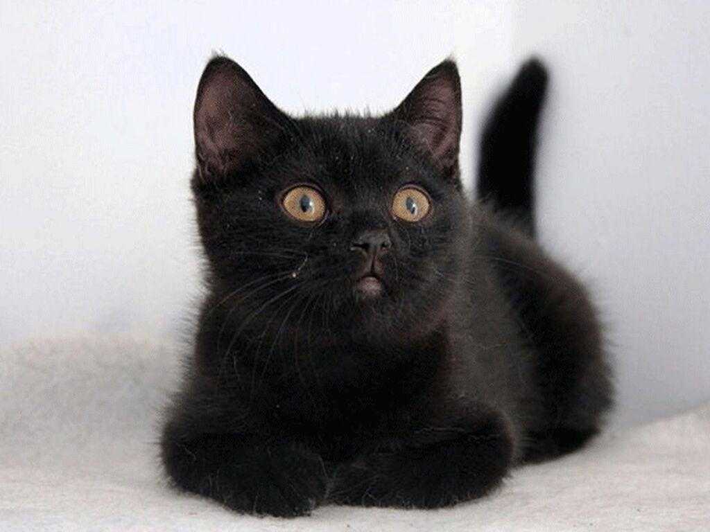 Котята сибирской породы, пушистые умные резвые, кушают все, привиты от блох, бесплатно+доставка