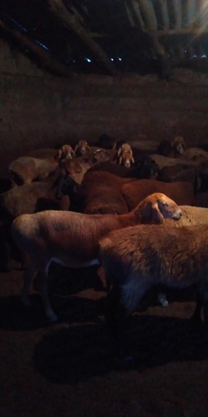 Продаю овец маток (покрытых)оптом. Photo 3