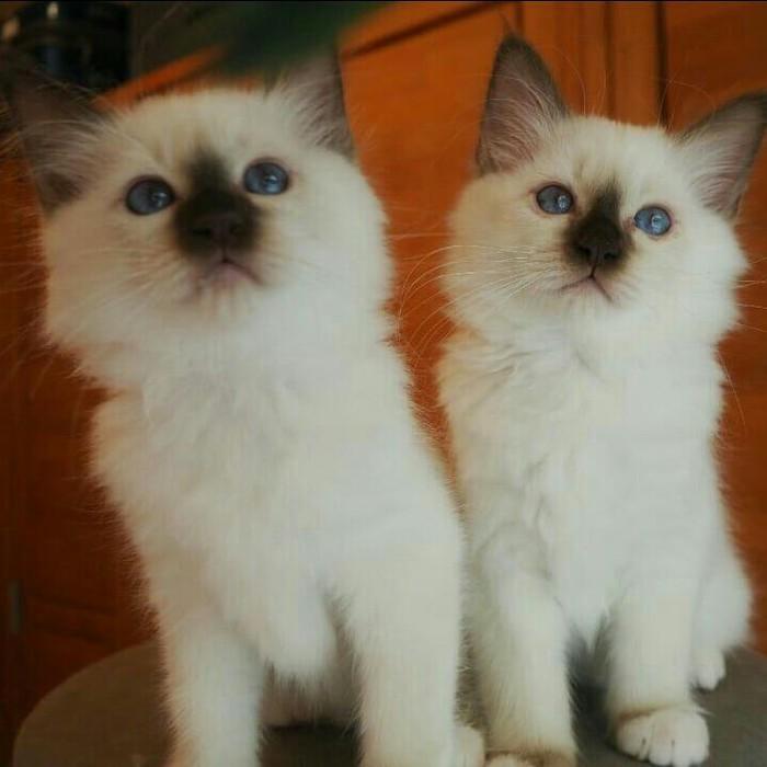 Birmam kittens. Photo 2