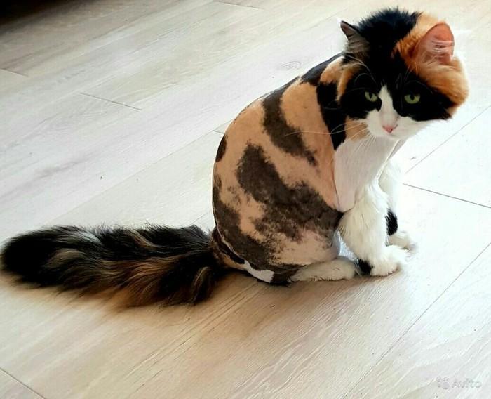 Стрижка кошек без наркоза,выезд к Вам БЕСПЛАТНЫЙ