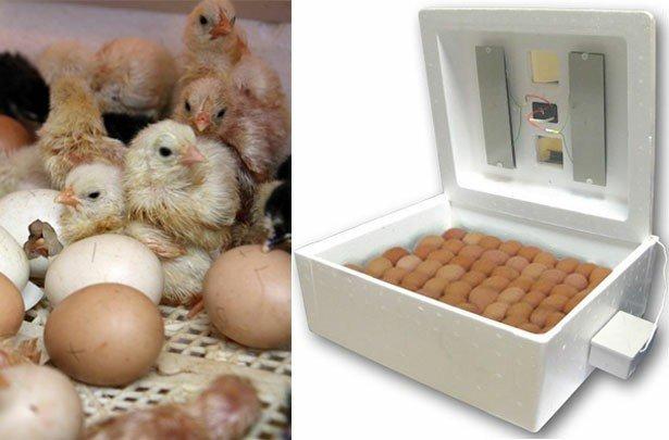 Bakı şəhərində Inkubator cuce cixartmaqa. Her sey avtomatika