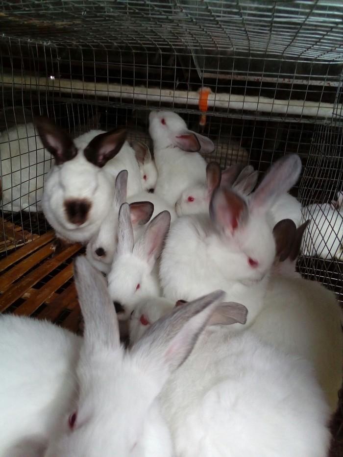 Продаются калифорнийские крольчата. Photo 5