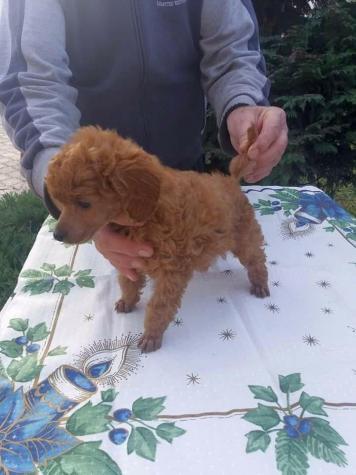 Poodle toy mini Caniche ΚΑΝΙΣ ΜΙΝΙ'. Photo 0