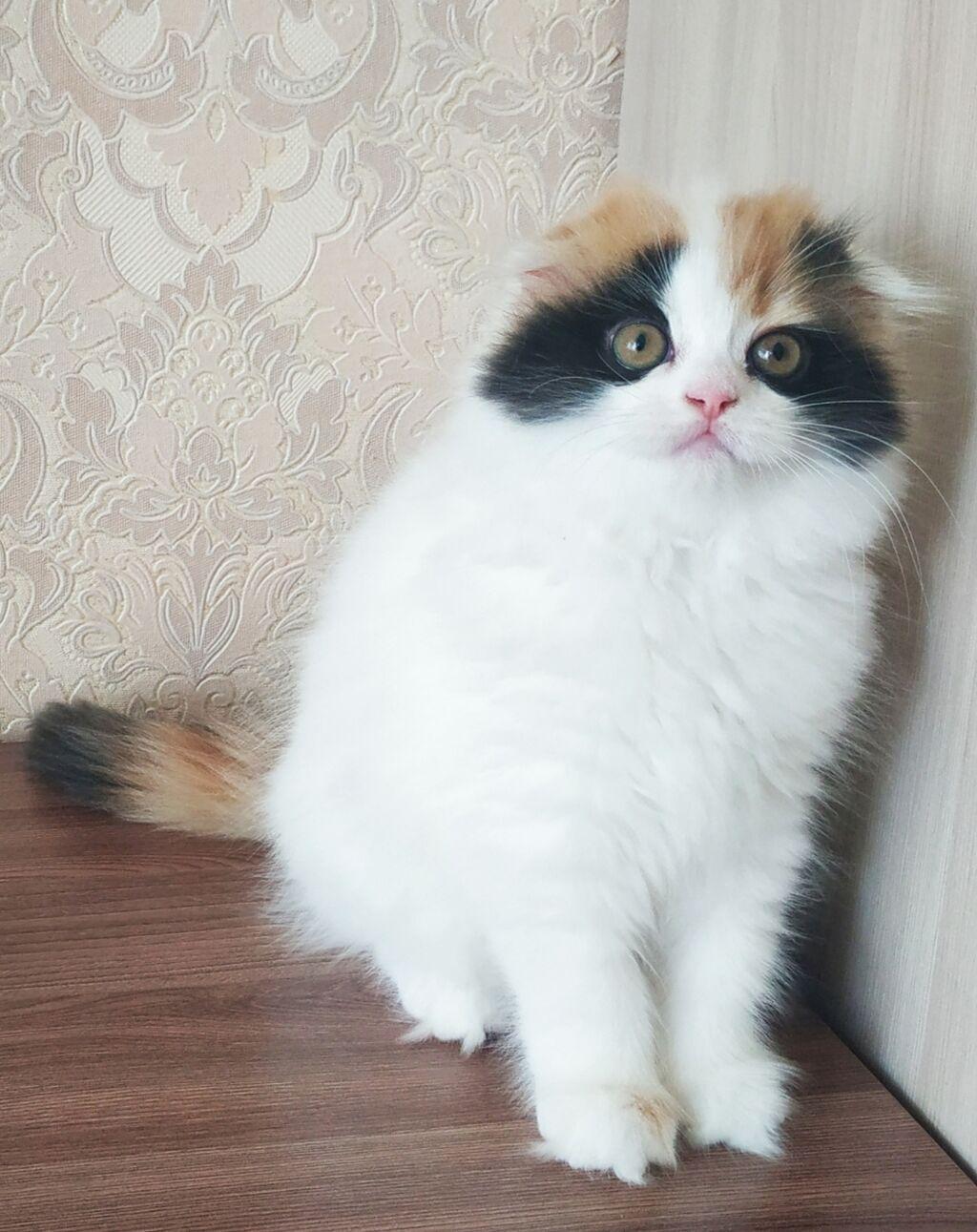 Породистые шотландские вислоухие котята