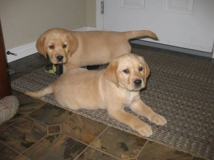 Labrador pupies black male and 2 cream puppies female each puppy cost 400