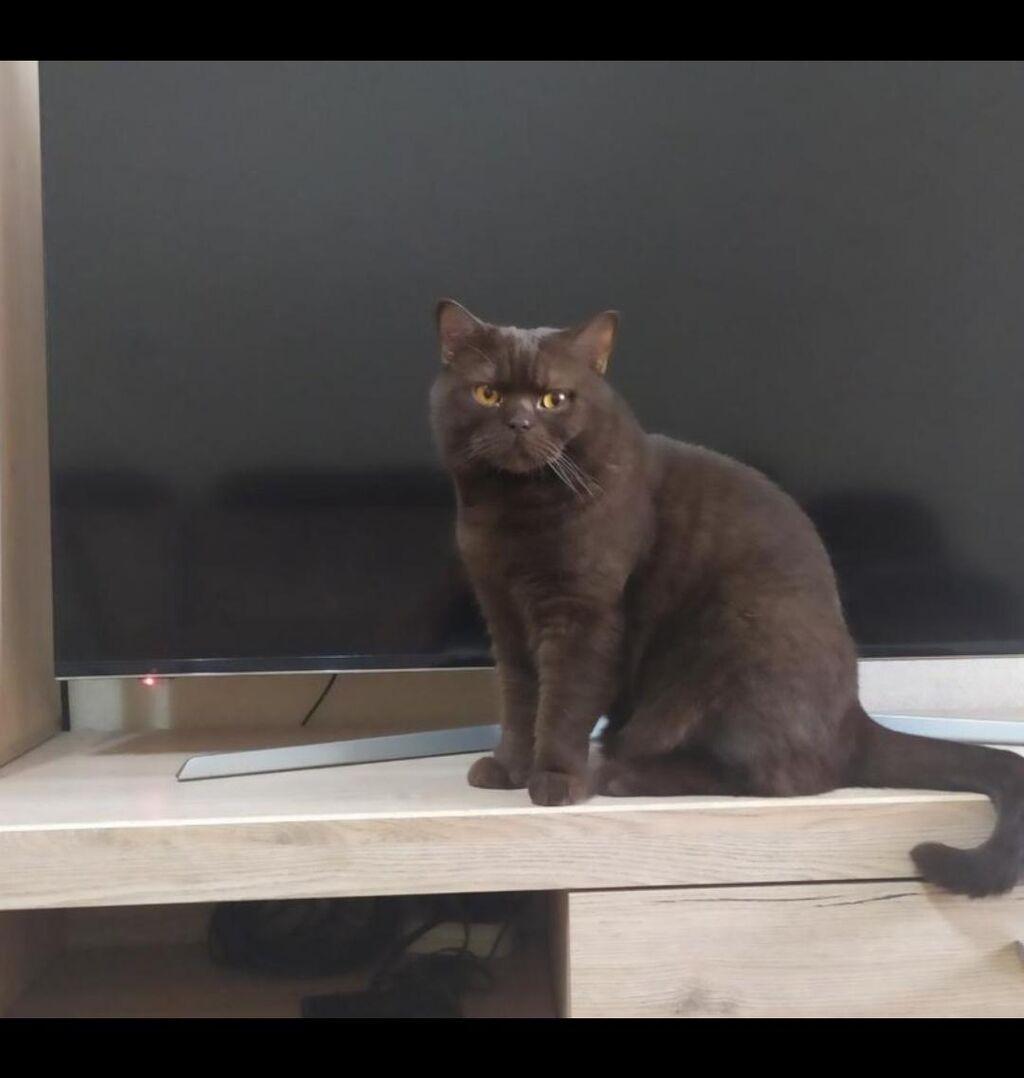 Британец!!! кот кострированный 2 года
