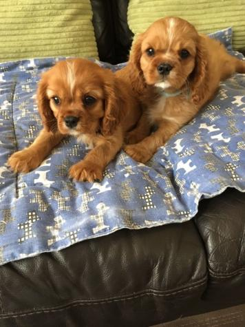 Cavrieler king charles puppies I have more pups available, they will be kc reg, 5 generation pedigree, microchipped, insured, fully vaccinated, had a vet health check, be fully wormed and receive precautionary flea treatment