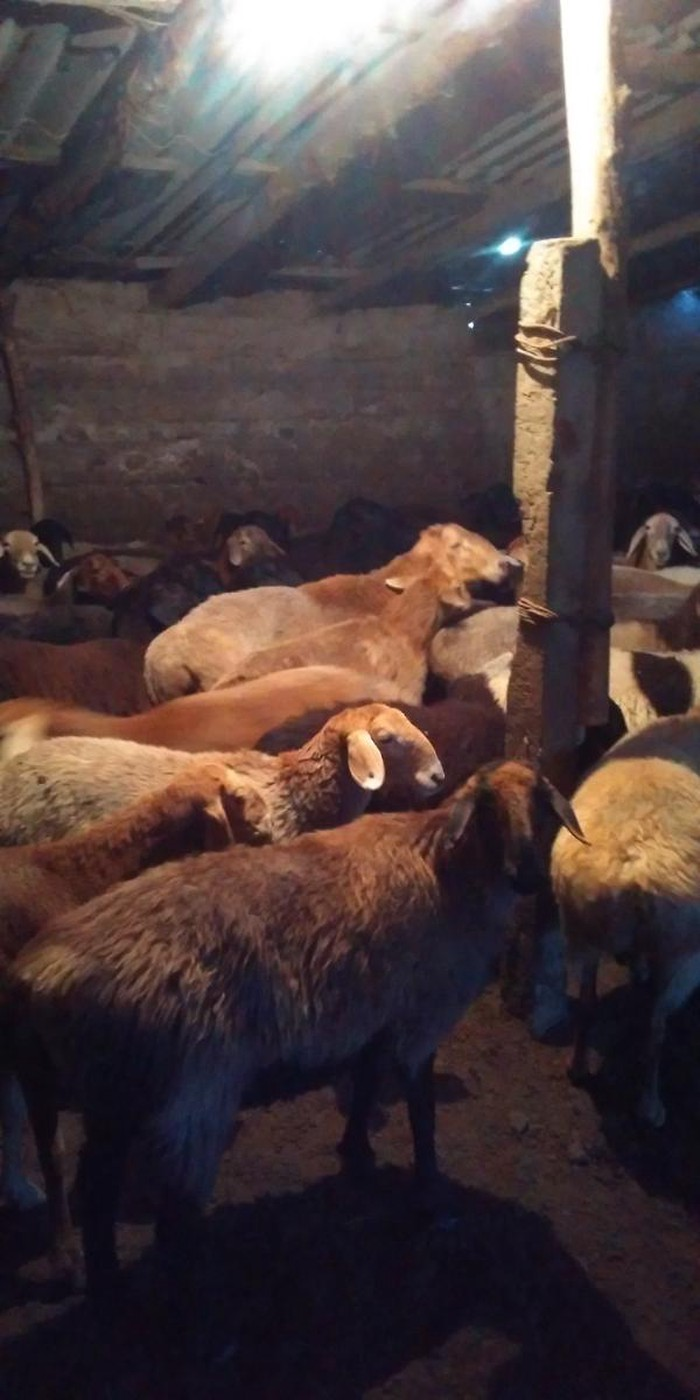 Продаю овец маток (покрытых)оптом. Photo 1