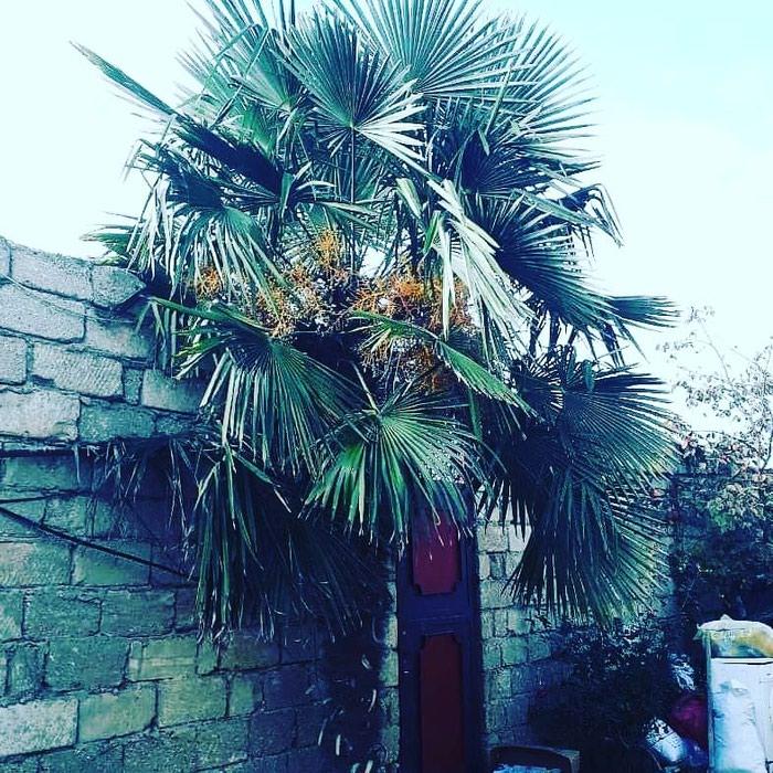 Palma agaci. Photo 5