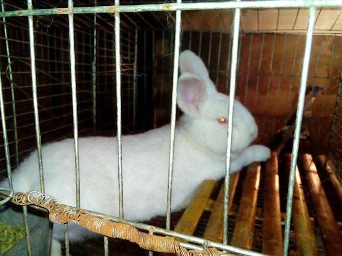 Продаются новозеландские кролики. Photo 3
