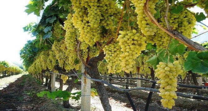 Samux şəhərində Samux şəhərində nəbiağalıda 0. 60 hektar üzüm bağı satılır. 16 cərgə