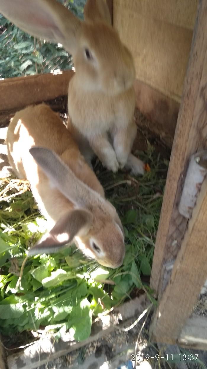 Кролики7,месецев девочки еще неслучали, крупные. Photo 0