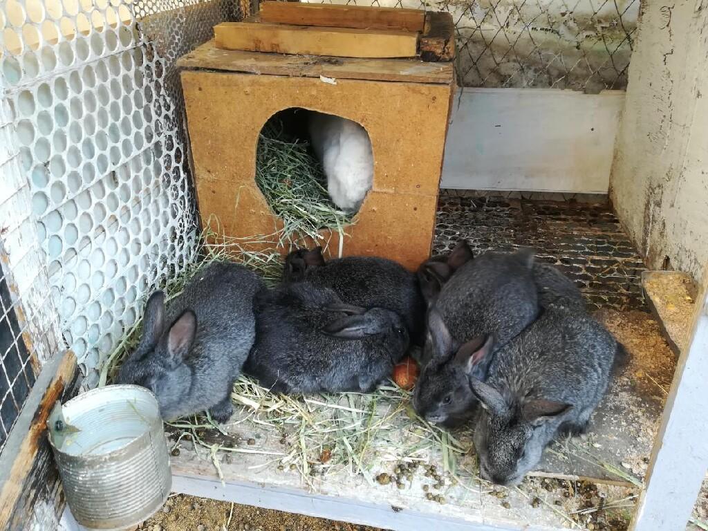 Продаю крольчат помись Нзб и серый великан месяц по 250 сом. Photo 3