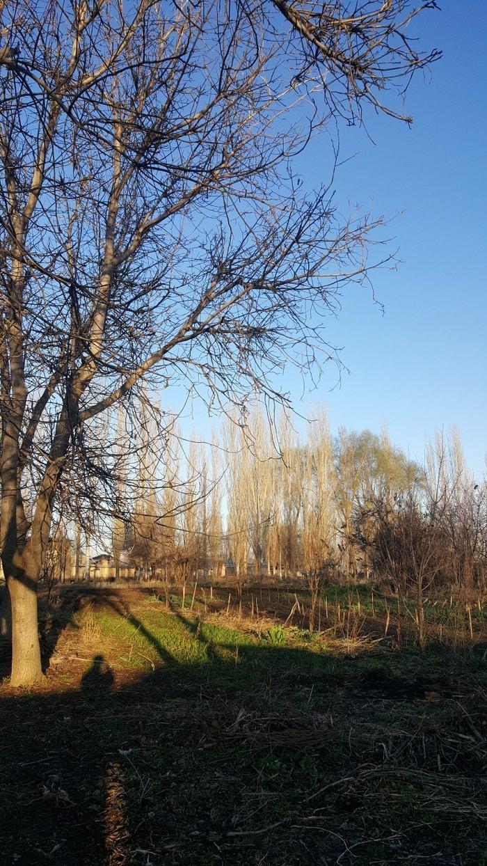 Деревья ореха на дрова в Беловодском