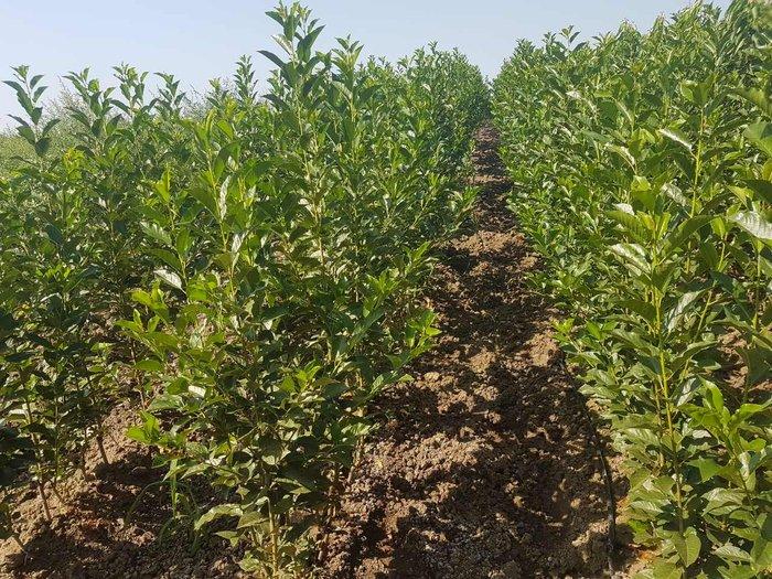 Prodaja vocnih sadnica - Niske cene visok kvalitet -  Vreme je za - Krusevac