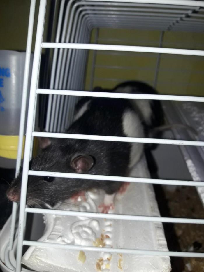 Крысы. Photo 0