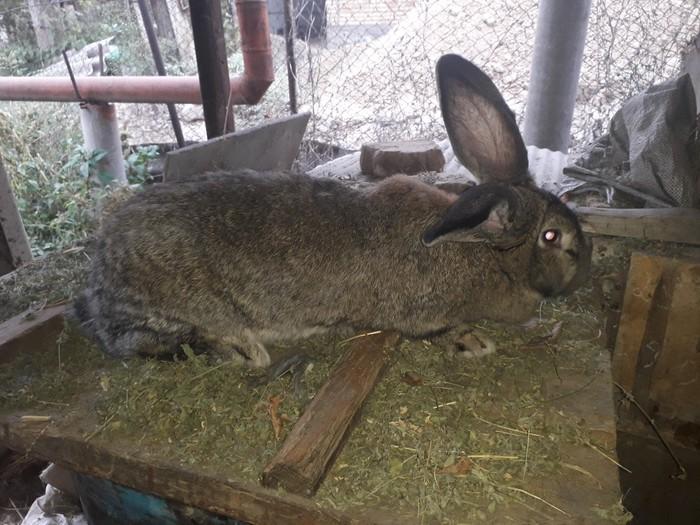 Продаю кролиху возраст 1 год порода фландр. Photo 0