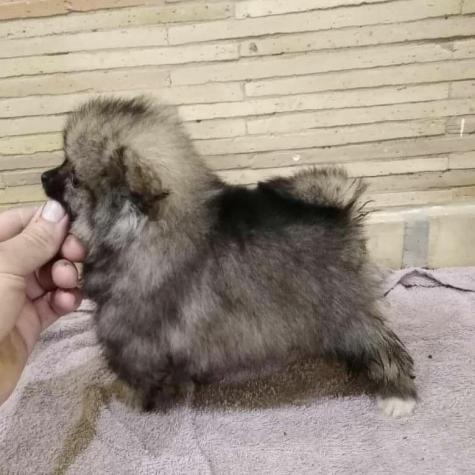Pomeranian Boo ΠΟΜΕΡΑΝΙΑΝ. Photo 0