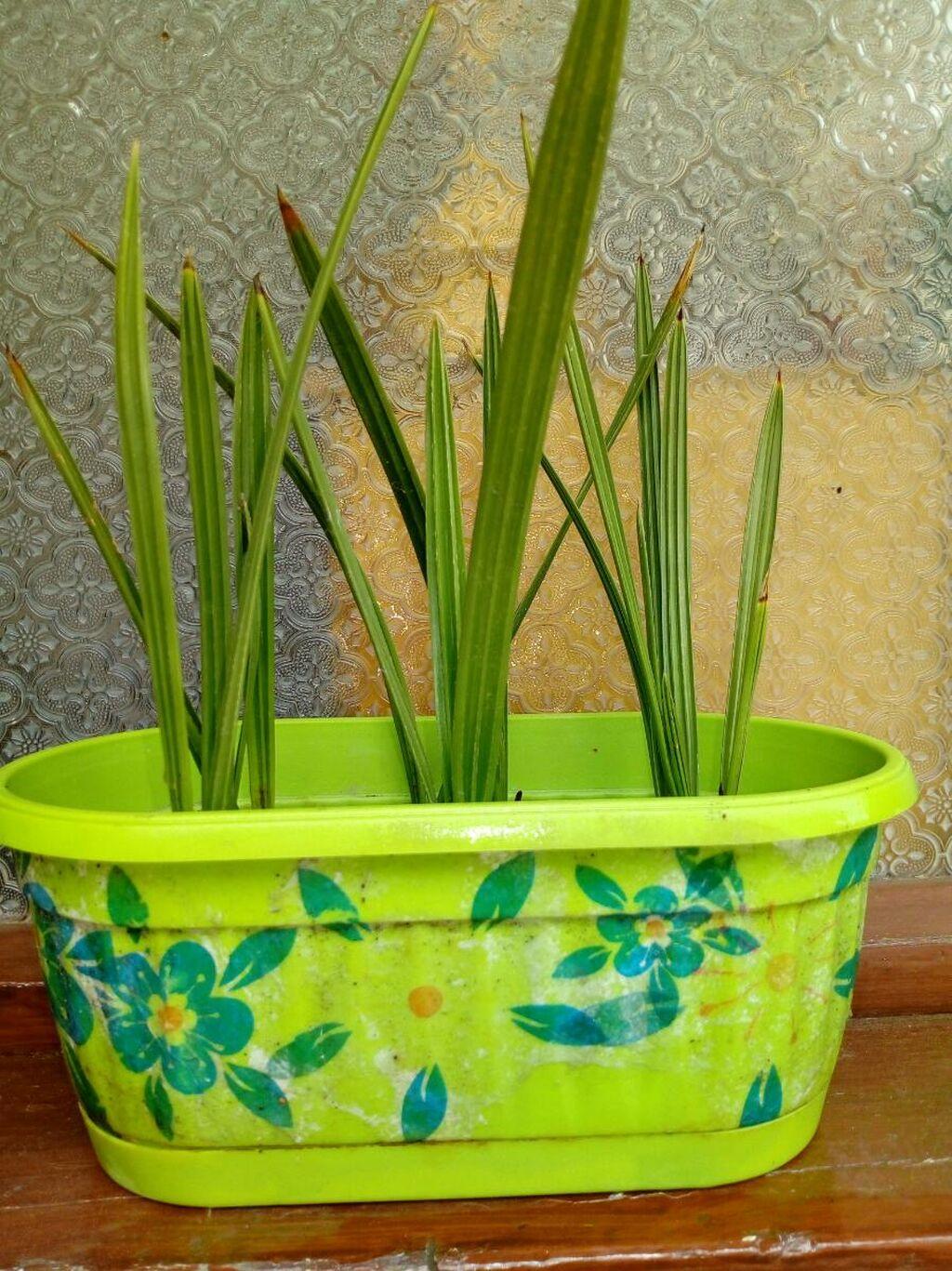 Palmice (10 kom.) visima 20-ak cm