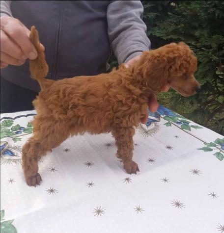 Poodle toy mini Caniche ΚΑΝΙΣ ΜΙΝΙ'. Photo 1