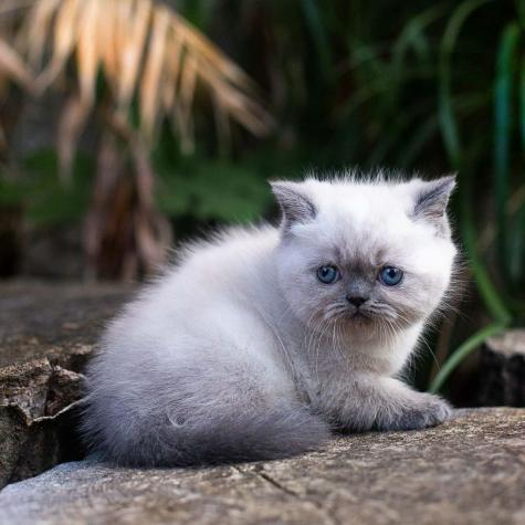 Persian cat for sale in Greece. Photo 0