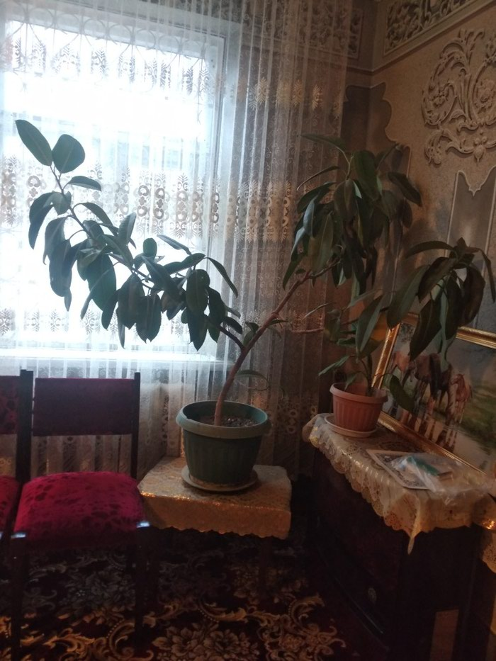 Фикус цветок 800с туфли 200с телефон 4500с телефон . Photo 4