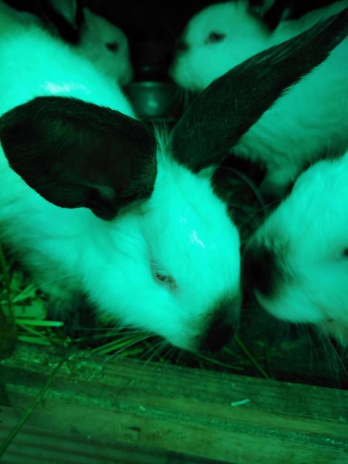 Продаю кроликов Калефорния 4 месяца. Photo 0