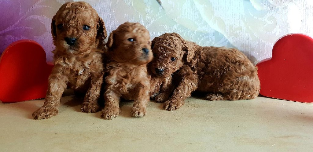 Beautiful litter of standard poodle puppies, born boxing day