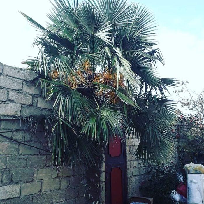 Palma agaci. Photo 8