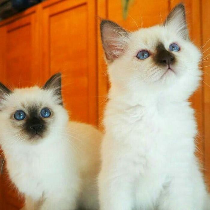 Birmam kittens. Photo 0
