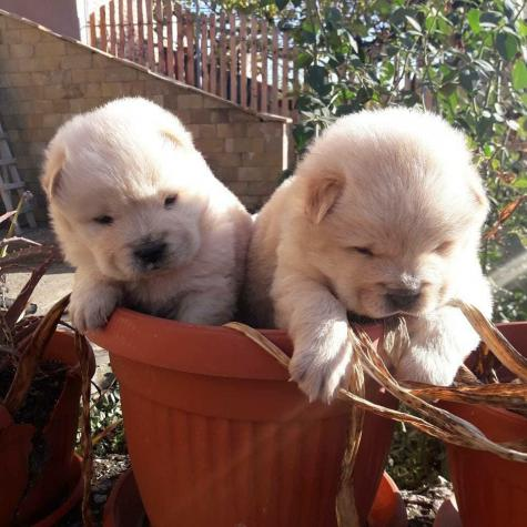Chow chow puppyes Τσόου Τσόου. Photo 0