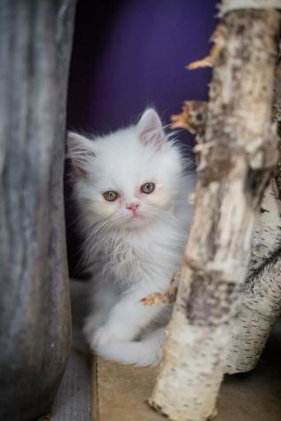 Persian cat for sale in Greece. Photo 3