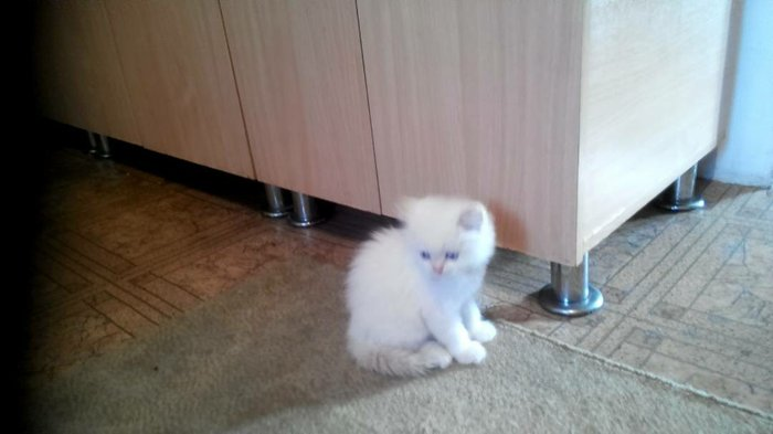 котята полубританцы фото