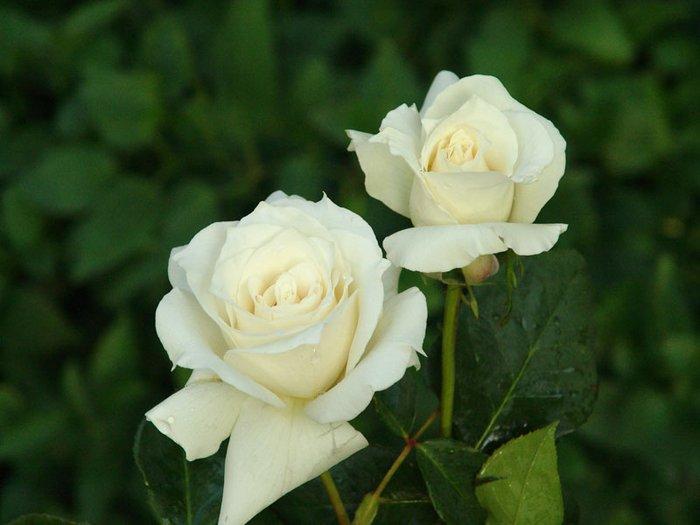 50 Σποροι Ασπρο Τριανταφυλλο. Photo 2