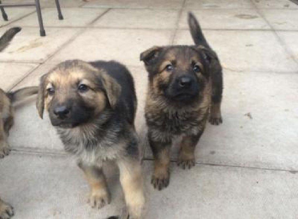 German Shepherd Puppies for sale whatsapp me at +