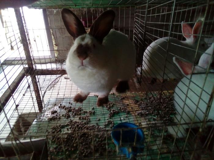 Продаются калифорнийские крольчата. Photo 4