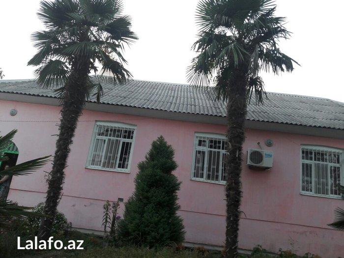 Zaqatala şəhərində Palma agaclari istenilen hundurluyde var 6 metrayakimi var.