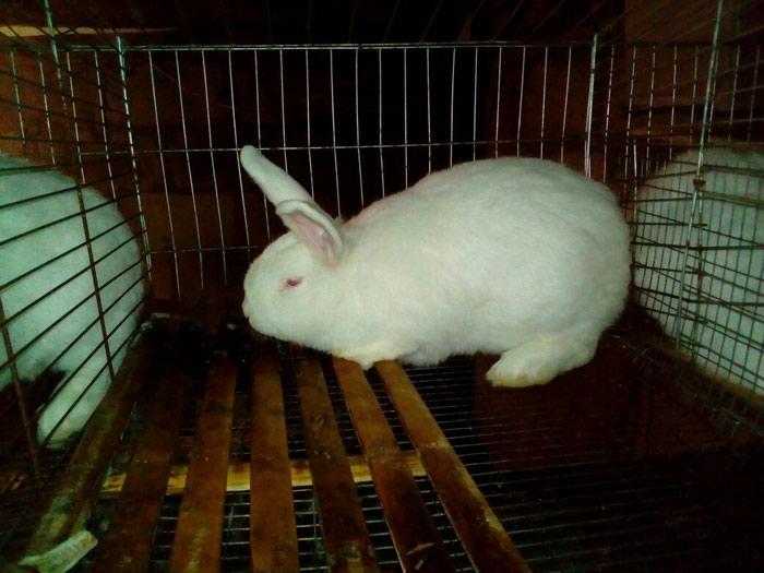 Продаются новозеландские кролики. Photo 4