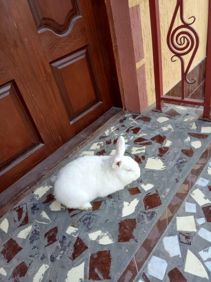 Новозеландский белый самец. Уши 10см. Вес 4100кг. Photo 1