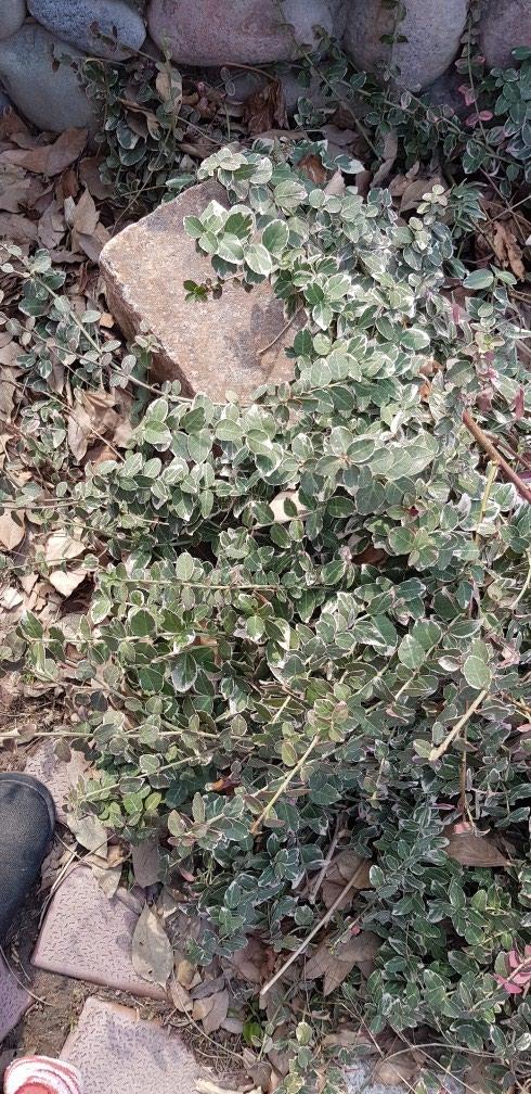 Отростки берескелета ползучего. Photo 0