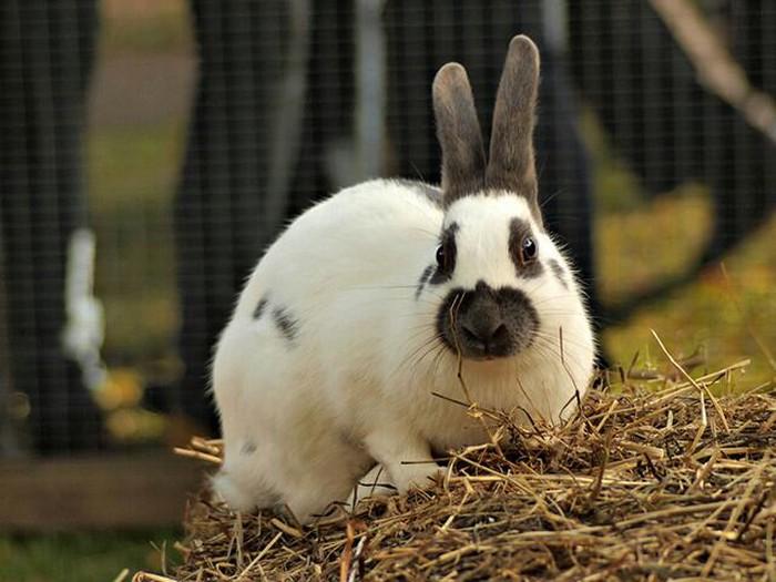 Продаю оптом 6 кроликов , взрослые 3 самки и 3 самца..за 3, 5 тысяч. Photo 0