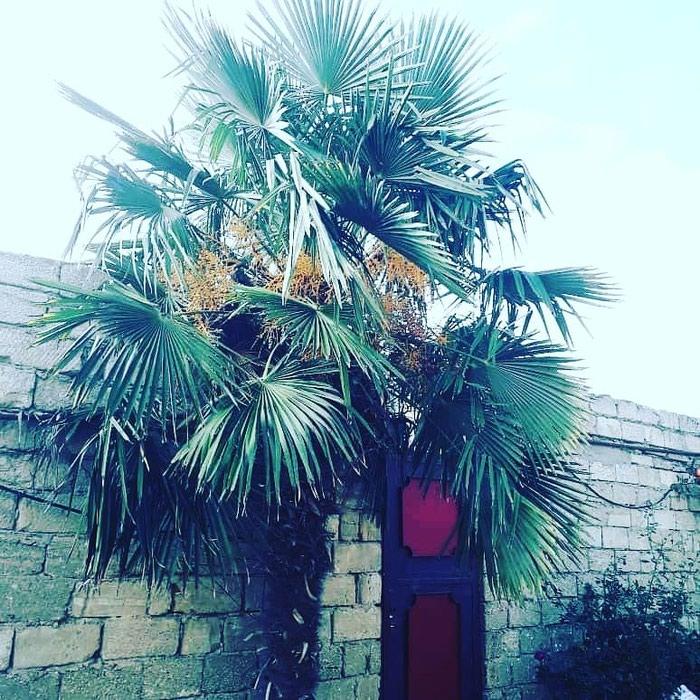 Palma agaci. Photo 3